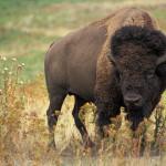 D 20 American_bison_k5680-1